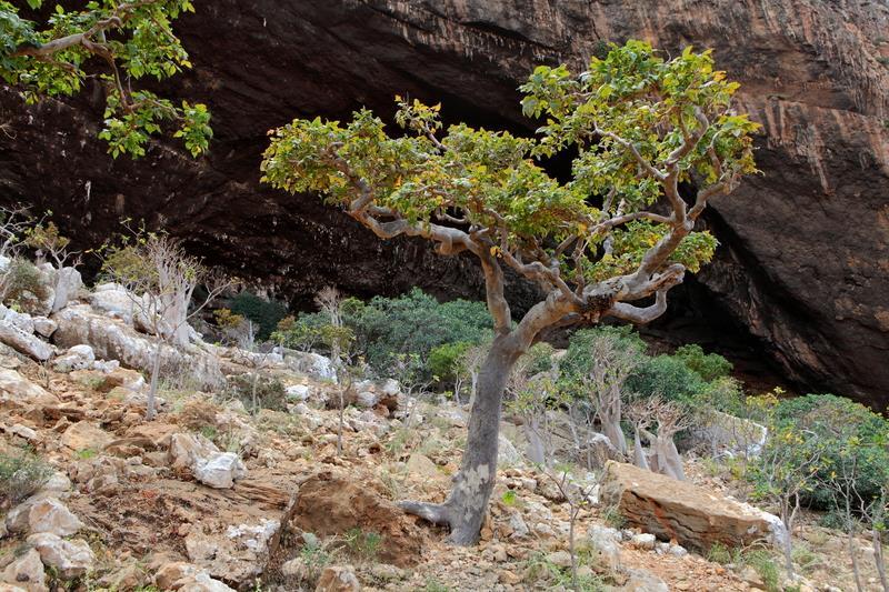 strom kadidlovník pravý