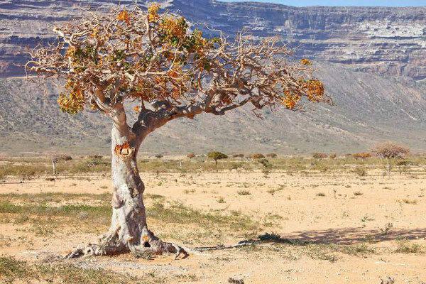 strom myrhovník